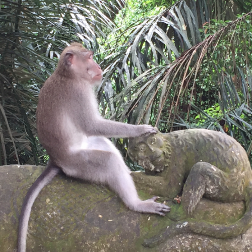 Une vie de singe - Bali